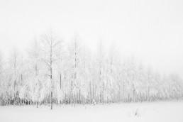 Talvinen koivikko