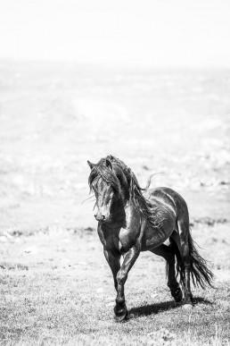 Sanna Kostamon Wild & free kuvasarjan musta villihevonen