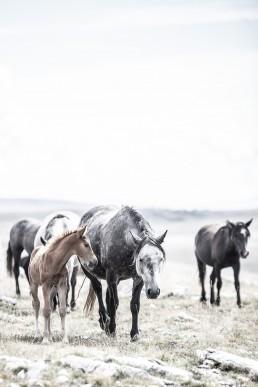 Sanna Kostamon Wild & free kuvasarjan kuva villihevolaumasta