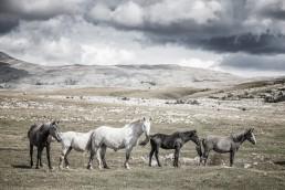 Sanna Kostamon Wild anf free kuvasarjan villihevoslauma vuoristomaisemassa