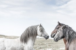Sanna Kostamon Wild anf free kuvasarjan villihevosia keskustelemassa