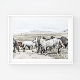Sanna Kostamon Wild & free kuvasarjan hevosjuliste villihevolaumasta