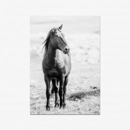 Sanna Kostamon Wild & free kuvasarjan postikortti yksikorvaisesta villihevosesta
