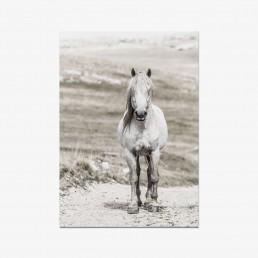 Sanna Kostamon Wild & free kuvasarjan postikortti valkoisesta villihevosesta
