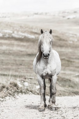 Sanna Kostamon Wild & free kuvasarjan valkoinen villihevonen