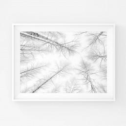 Mustavalkoinen minimalistinen juliste talvikoivuista ylöspäin kuvattuna