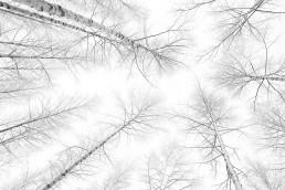 Mustavalkoinen luontokuva, jossa talviset koivut kuvattuna alhaalta ylöspäin