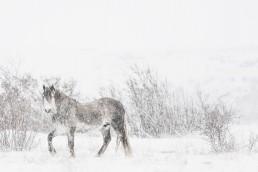 Villihevonen sulautuu talviseen maisemaan