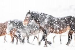 Villihevosia epäterävänä lumimyrskyn keskellä