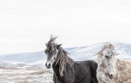 Kaksi villihevosta vuoristomaisemassa
