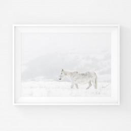 Juliste valkoisesta villihevosesta usvassa
