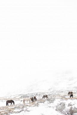 Minimalistinen valokuva villihevosista talvisessa vuoristomaisemassa syömässä