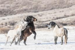 Kaksi villihevosoria taistelee ja kolmas hevonen katsoo vierestä